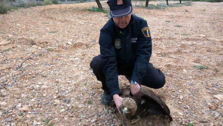 La Policía Local de Chiva rescata a un águila real herida